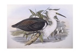 Pacific Heron (Ardea Pacifica)  Engraving by John Gould