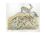 Rhim Gazelles Gazella Leptoceros  Illustration