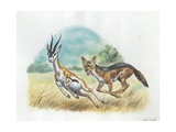 Black-Backed Jackal Canis Mesomelas Hunting Antelope  Illustration