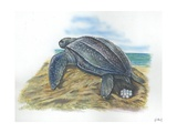 Leatherback Sea Turtle Dermochelys Coriacea Laying Eggs  Illustration