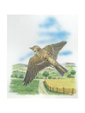 Skylark Alauda Arvensis in Flight  Illustration