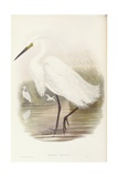 Little Egret (Egretta Garzetta)  Engraving by John Gould