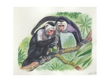 White-Headed Capuchins Cebus Capucinus Opening Fruit with Stone  Illustration