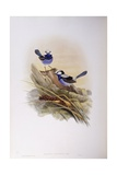 Splendid Fairywren (Malurus Splendens)  Engraving by John Gould