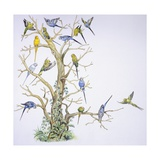 Birds: Psittaciformes  Budgerigar (Melopsittacus Undulatus) on Tree  Illustration