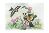 Goldfinches Carduelis Carduelis  Illustration
