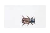 European Spruce Bark Beetle (Ips Typographus)  Illustration