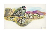 Rock Partridge Alectoris Graeca with Chicks  Illustration