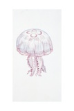Saucer Jelly (Aurelia Aurita)  Illustration