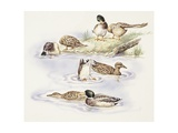 Zoology: Birds  Ducks Swimming  Illustration