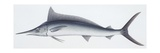 Fishes: Beloniformes  Mediterranean Spearfish (Tetrapturus Belone)
