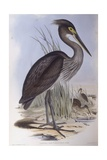 Great-Billed Heron (Ardea Sumatrana)  Engraving by John Gould