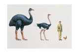 Ostrich (Struthio Camelus) and Elephant Bird (Aepyornis) with a Man and Hen in a Row
