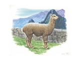 Alpaca Vicugna Pacos  Illustration