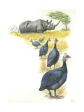Helmeted Guineafowls Numida Meleagris in Savannah  Illustration