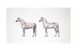 Andalusian Horse and Lusitano Horse (Equus Caballus)  Illustration