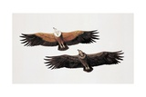 Two Griffon Vultures (Gyps Fulvus)