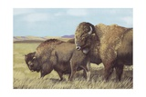 American Bison (Bison Bison)  Illustration