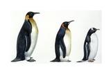 Birds: Sphenisciformes  Emperor Penguin  King Penguin  Gentoo Penguin