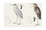 Zoology: Birds  Grey Heron (Ardea Cinerea) and Purple Heron (Ardea Purpurea)  Illustration
