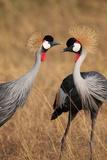 A Pair of Grey Crowned Cranes  Balearica Regulorum Gibbericeps