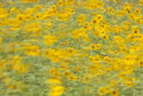 Sunflowers in Flagstaff  Arizona