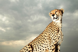 A Cheetah Searching for Prey From Atop a Four-wheel-drive Vehicle
