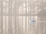 A Swan Glides Through Pen Ponds in Richmond Park at Sunrise