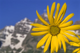 Aspen Sunflower  Helianthella Quinquenervis  in a Meadow at Maroon Lake