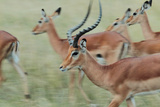 A Herd of Impalas  Aepyceros Melampus  on the Move