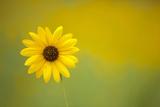 One Sunflower in Flagstaff  Arizona