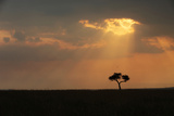 A Lone Acacia Tree  Acacia Species  on the Savanna at Sunset
