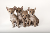 Coyote Puppies  Canis Latrans