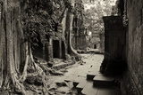 Strangler Fig Trees and Lichen Engulf Temple Ruins at Ta Prohm Temple