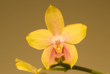 Close Up of a Moth Orchid  Phalaenopsis Species