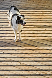 An Australian Shepherd Dog on a Wooden Deck Surrounded by the Shadows of a Railing