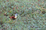 A Male African Jacana  Actophilornis Africana  Hunting in Vegetation