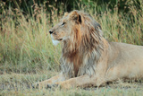 Portrait of a Male Lion  Panthera Leo  Resting But Alert