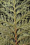 Close Up of a Leyland Cypress Tree Branch  Cupressocyparis Leylandii