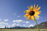 One Sunflower in a Field in Flagstaff  Arizona