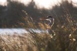 A Gray Heron  Ardea Cinerea  in Grass