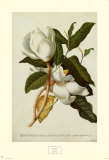 Magnolia Altissima