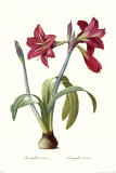Amaryllis Brasiliensis
