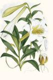 Lilium Neilgherriense
