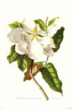 Magnolia Maxime Flore