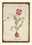 Tulipa Aureicoloris