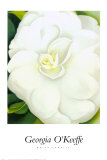 White Camelia
