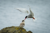 An Arctic Tern Feeds a Chick While in Flight