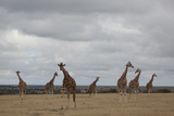 Seven Giraffes Stand Tall in the Laikipia Plains of Kenya