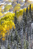 A Snowy Mountainside with Golden Aspen Trees and Evergreens